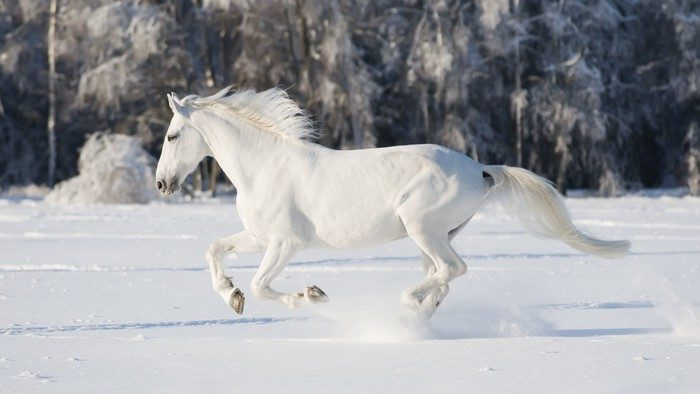 stickers white horse runs gallop.jpg edited